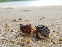 The journey of Hermit Crab. Royalty Free Stock Images