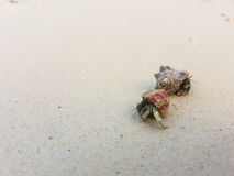 The journey of Hermit Crab. Stock Photography