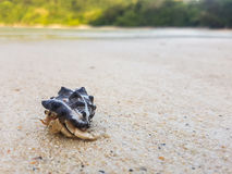 The journey of Hermit Crab. The journey of Hermit Crab on the beach in thailand Stock Photo