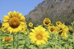 The Journey Sun Flowers Royalty Free Stock Photo