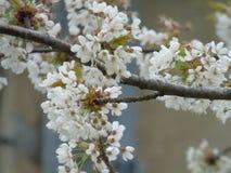 Jours de Cherry Terry au printemps photo libre de droits