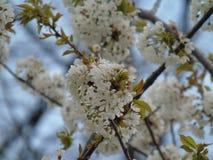 Jours de Cherry Terry au printemps photos stock