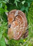 Jovem corça Fotografia de Stock