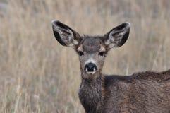 Jovem corça alerta dos cervos de mula Imagens de Stock Royalty Free