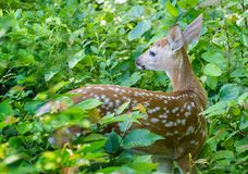 Jovem corça atada branco dos cervos na floresta Imagem de Stock Royalty Free