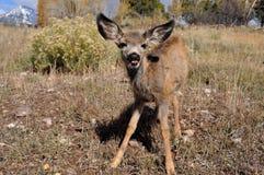 Jovem corça bonito dos cervos de mula no campo Imagem de Stock Royalty Free