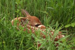 jovem corça Branco-atada dos cervos Imagem de Stock Royalty Free