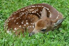 jovem corça Branco-atada dos cervos Fotos de Stock Royalty Free