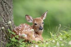 jovem corça Branco-atada dos cervos em Poughkeepsie, NY imagens de stock