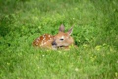 jovem corça Branco-atada dos cervos em Poughkeepsie, NY fotografia de stock