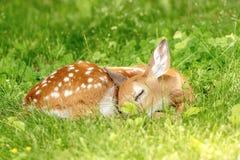 jovem corça Branco-atada dos cervos em Poughkeepsie, NY foto de stock