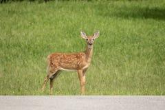 jovem corça Branco-atada dos cervos em Poughkeepsie, NY imagem de stock royalty free