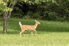 jovem corça Branco-atada dos cervos em Poughkeepsie, NY fotografia de stock royalty free