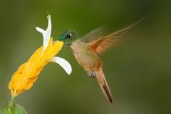 Jovem corça-breasted rubinoides brilhantes, de Heliodoxa, sugando o néctar doce da flor branca e amarela, Tandayapa, Equador Fotografia de Stock