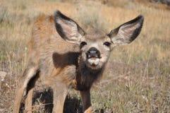 Jovem corça curiosa dos cervos de mula Imagem de Stock Royalty Free
