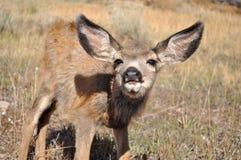 Jovem corça curiosa dos cervos de mula Imagens de Stock Royalty Free