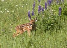 Jovem corça da cauda branca com lupine roxo Fotos de Stock Royalty Free