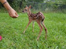 Jovem corça da cauda branca do bebê Imagens de Stock Royalty Free