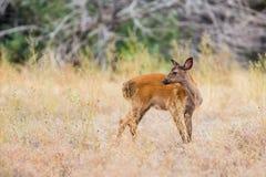 Jovem corça dos cervos Foto de Stock