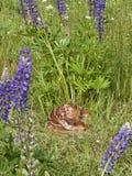 jovem corça dos cervos da Branco-cauda que dorme no prado do lupine Imagens de Stock