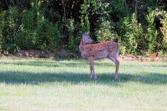 Jovem corça dos cervos da cauda branca da mola Fotografia de Stock
