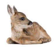Jovem corça dos cervos das ovas - capreolus do Capreolus (15 dias velho) Imagens de Stock