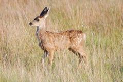 Jovem corça dos cervos de mula Fotos de Stock Royalty Free