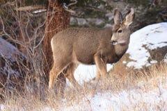 Jovem corça dos cervos de mula fotos de stock