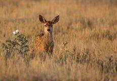 Jovem corça dos cervos de mula em um prado durante a luz da manhã fotos de stock