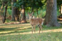 Jovem corça dos cervos de Whitetail fotos de stock