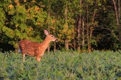 Jovem corça dos cervos de Whitetail em Bean Field fotografia de stock
