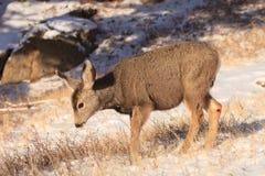 Jovem corça muito nova dos cervos de mula foto de stock