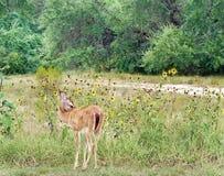 Jovem corça na borda de uma floresta Imagens de Stock Royalty Free