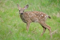 Jovem corça na grama Imagens de Stock