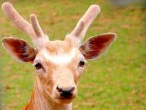 Jovem corça no parque do jardim zoológico Imagens de Stock Royalty Free