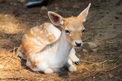 Jovem corça no parque nacional de Thassos Imagem de Stock Royalty Free