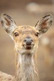 Jovem corça nova Fotografia de Stock Royalty Free