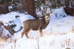 Jovem corça nova dos cervos de mula na imagem do cartão imagem de stock