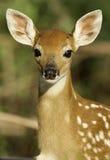 Jovem corça nova que presta atenção e que escuta Fotografia de Stock