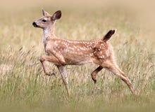 Jovem corça de cauda negra dos cervos Foto de Stock Royalty Free