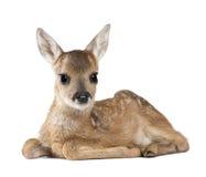 Jovem corça dos cervos das ovas na frente de um fundo branco Imagem de Stock Royalty Free