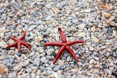 Jovem criança, guardando estrelas do mar vermelhas em suas mãos na praia Fotos de Stock Royalty Free