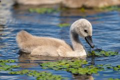 Jovem da cisne muda no delta de Danúbio foto de stock