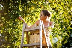 Jovem mulher acima em maçãs de uma colheita da escada de uma árvore de maçã fotografia de stock