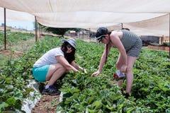 Jovem mulher com sua filha que escolhe uma morango madura Fotografia de Stock