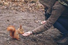 A jovem mulher está alimentando o esquilo na floresta do outono fotografia de stock