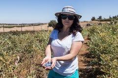 A jovem mulher está e realiza em suas mãos diversas bagas maduras do mirtilo no fundo de arbustos verdes Foto de Stock Royalty Free