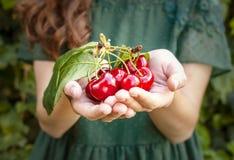 Jovem mulher isolada que guarda algumas cerejas em suas mãos Cerejas vermelhas grandes com folhas e hastes Uma pessoa no fundo imagem de stock