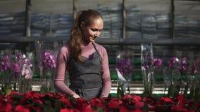 A jovem mulher na estufa com flores verifica um potenciômetro da poinsétia vermelha na prateleira Florista fêmea de sorriso no av vídeos de arquivo