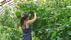 Jovem mulher que colhe pepinos em uma estufa vídeos de arquivo